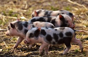 Southern Minnesota faces rash of hog thefts